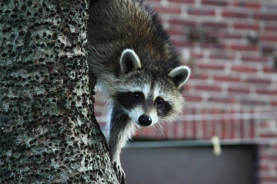Raccoons Cambridge