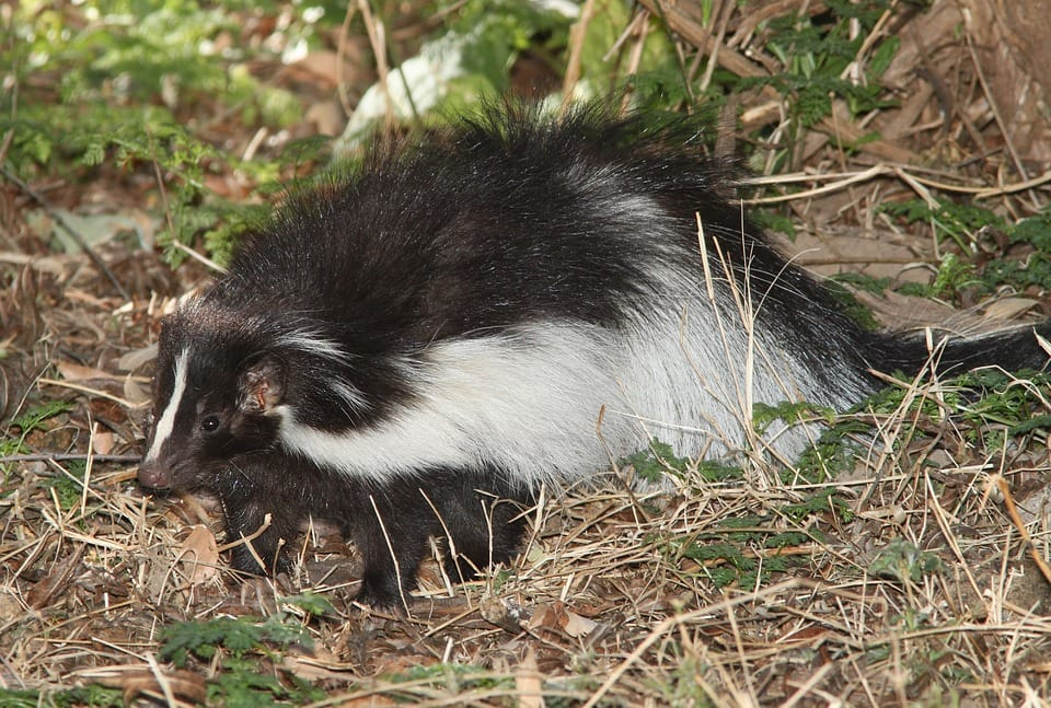 How To Get Rid Of Skunks Under Your Deck