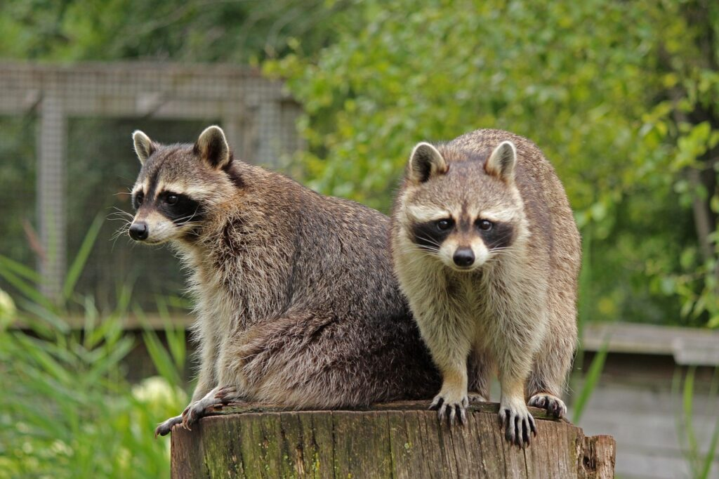 How to pick a raccoon removal company