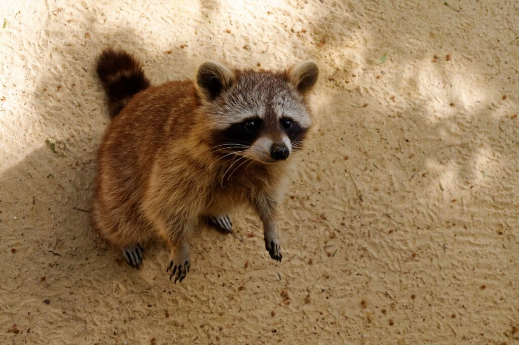 Raccoon behavior in residential areas