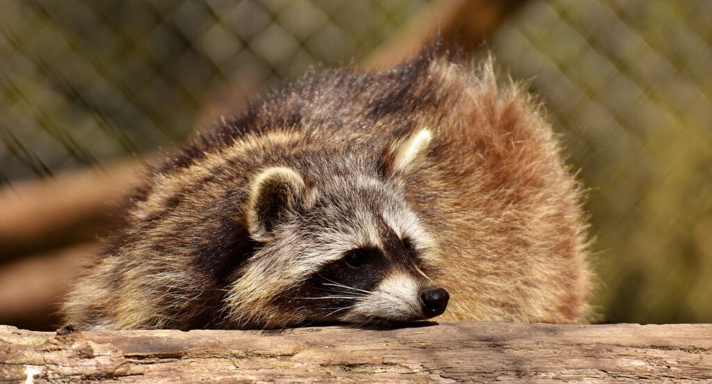 What to do when raccoons break into your attic