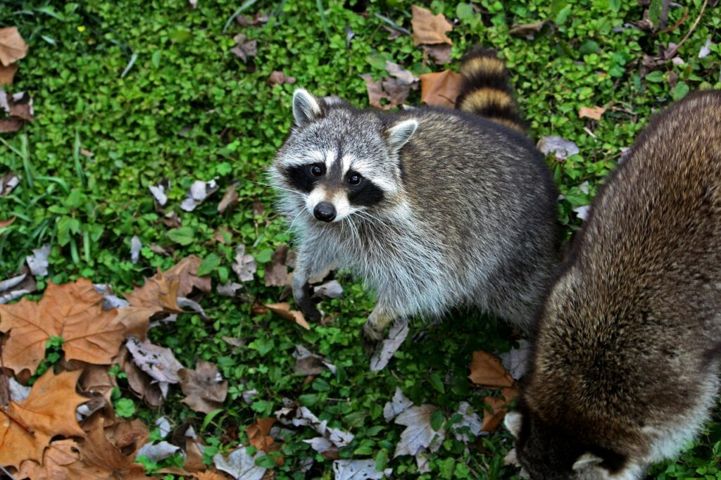 Why do people consider raccoons as smart creatures?