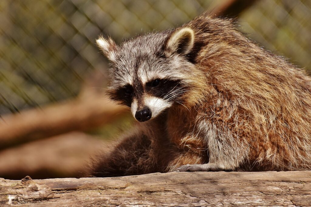 Why raccoon repelents don't work