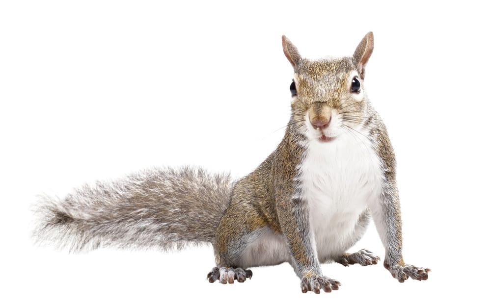 Squirrel Removal Cambridge