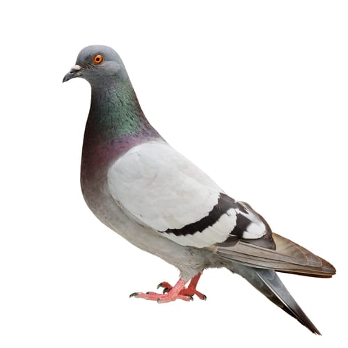 pigeon removal cambridge